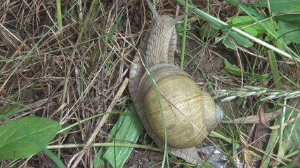 Snail among leaves and dry grass