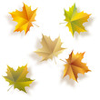 Autumn five maple leaves. Vector