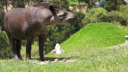 Tapir Browsing Mammal Similar to Pig