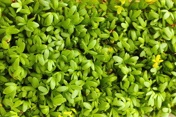 Garden cress close-up background