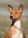 The portrait of Basenji dog