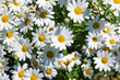 beautiful daisies in the flower pot