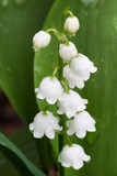 White Dew Bells