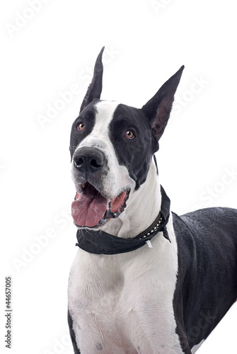 Great Dane on White