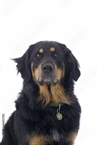 Bernese Mountain Dog/Golden Retriever Mix on White