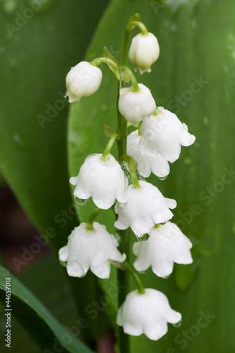 White Dew Bells
