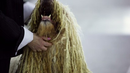 Owner pats dog of komondor breed with curls