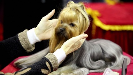 Groomer makes hairdo of yorkshire terrier breed