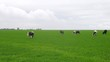 Cows walk on meadow and eat grass