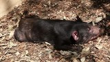 A tasmanian Devil lying in the sand