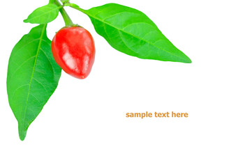 red chilli on white background