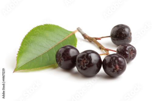 Black chokeberry bunch