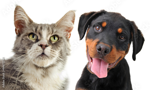 maine coon cat and puppy rottweiler