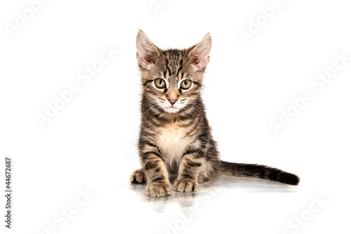 Junge Maine Coon