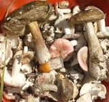 Many raw fresh eatable mushrooms mostly russulas closeup poster