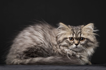 Lovely persian kitten on black background