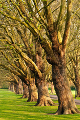 Row of old trees in park