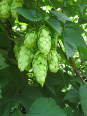 Hop cones close up