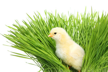 Chicken in green grass