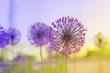 Fototapeten,copy space,zwiebel,blume,lila