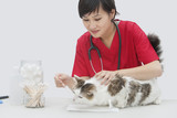Asian female veterinarian cleaning cat's ear with cotton swab against gray background