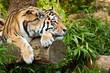 Fototapeten,sibirischer tiger,tiger,katze,graziös