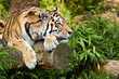 Fototapeten,amun-re,tiger,katze,anmutig