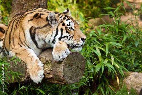 Tuinposter Tijger Sibirischer Tiger (Panthera tigris altaica)