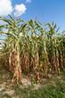 Corn field in a sunny autumn day