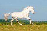White Orlov trotter horse runs gallop on the meadow