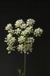 Anis; Pimpinella anisum; Anisbluete