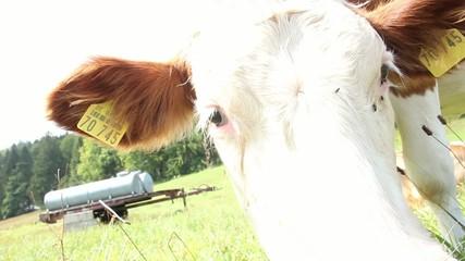 Snooping calf