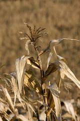 Corn in farm