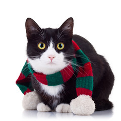 black and white cat wearing winter scarf