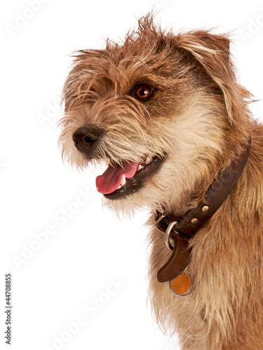 Cute shaggy pet terrier with happy expression