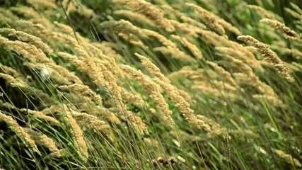wild grass in the wind