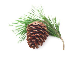 Pine cone on a branch on a white background