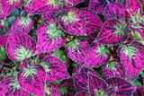 The color of coleus