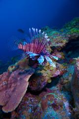 Lionfish (Pterois) near coral, Cayo Largo, Cuba