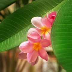 Branch of tropical flowers frangipani