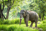 Fototapety Mature bull elephant with long tusks stands in forest