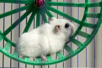 hamster running in the wheel..