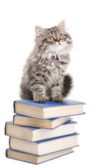 persian kitten sitting with books on isolated white