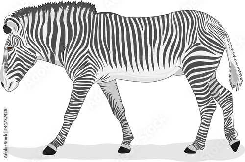 Going zebra on a white background