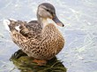 Young Mallard Duck  - standing in water weeds along lake shore