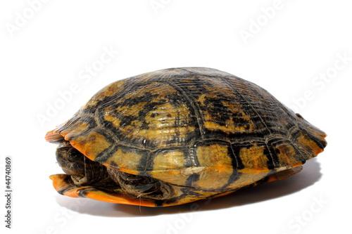 Foto op Plexiglas Schildpad Western Chicken Turtle