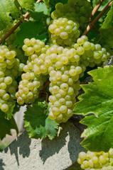 Weintrauben gesund