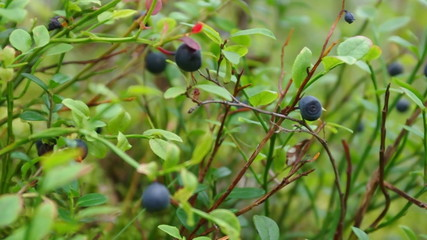 Bush of a ripe bilberry in the summer close up