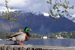 landscape of lake Como with wild ducks