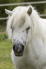 Pony bianco in campagna